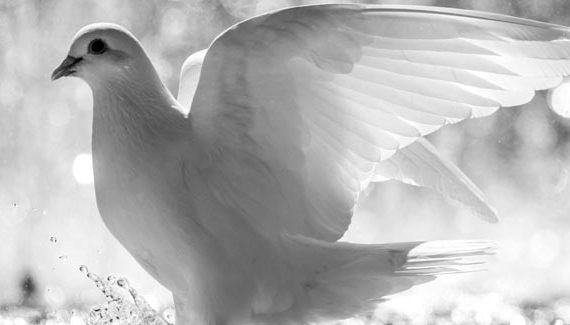 white-pigeon-pic